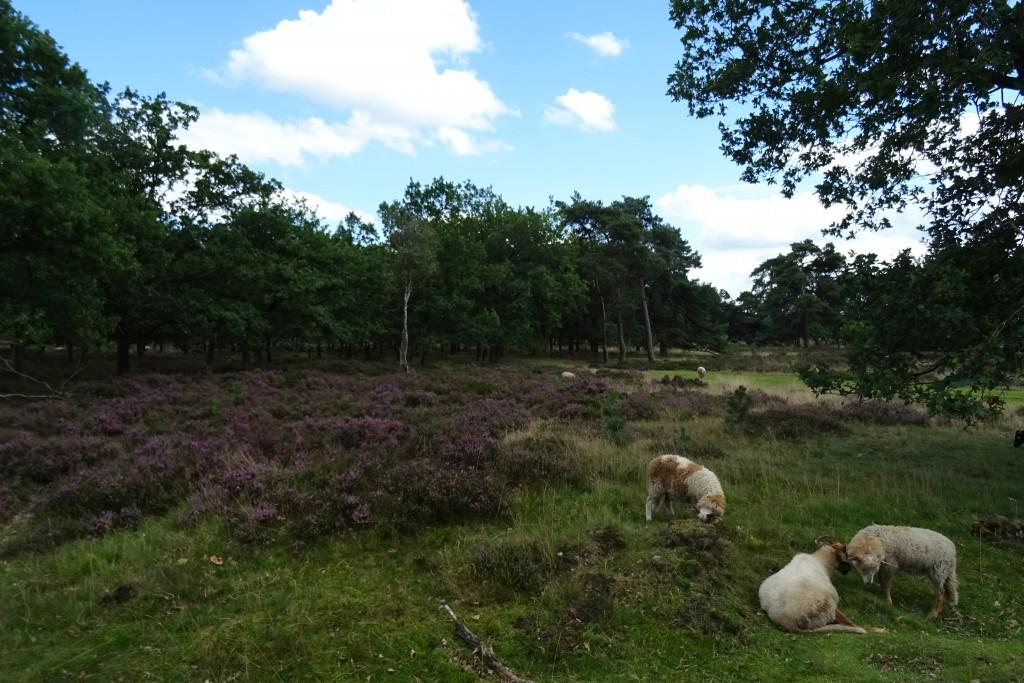 boswachterij Odoorn_heidevelden_Drenthe