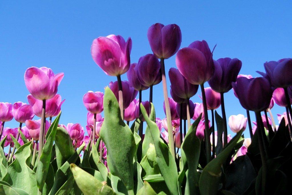 tulpenveld Spijk Groningen