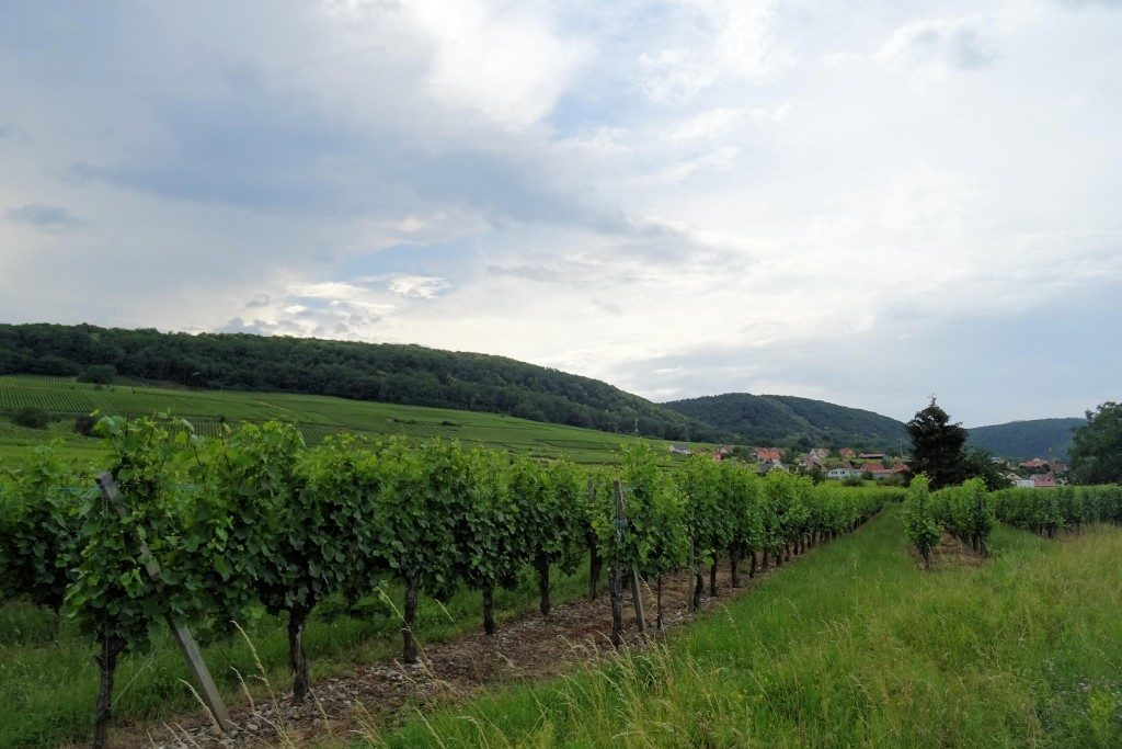 Route des Vins Elzas Vogezen Frankrijk